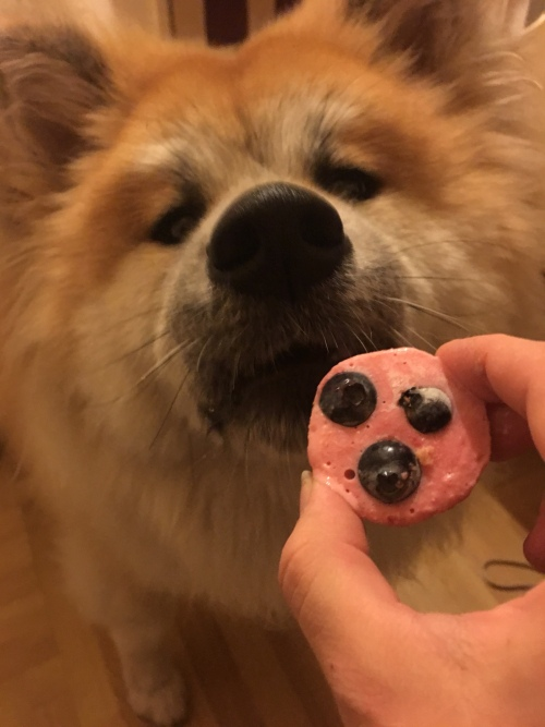 Japanese Akita with treats